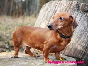 Красивая коричневая собака