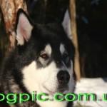 Пёс-волк