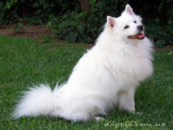 Белоснежная собака