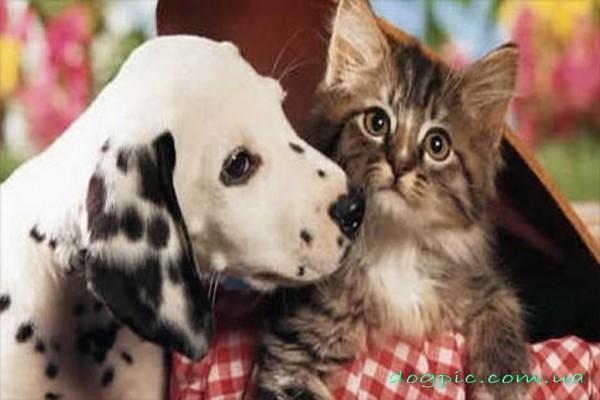 Далматинец с котёнком