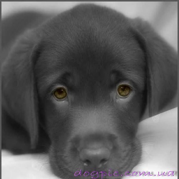 Грустный серый щенок