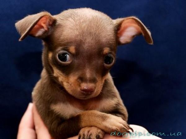 Крошечный щенок