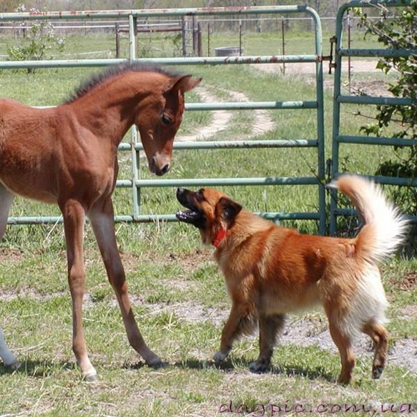 Пёс гавкает на лошадь