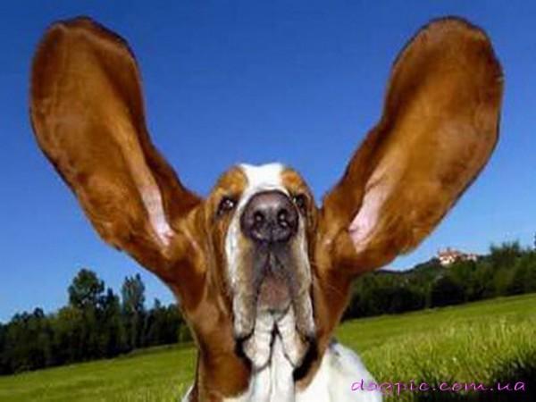 Пёс с огромными ушами