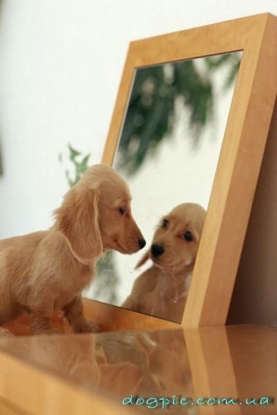 Щенок смотрит в зеркало