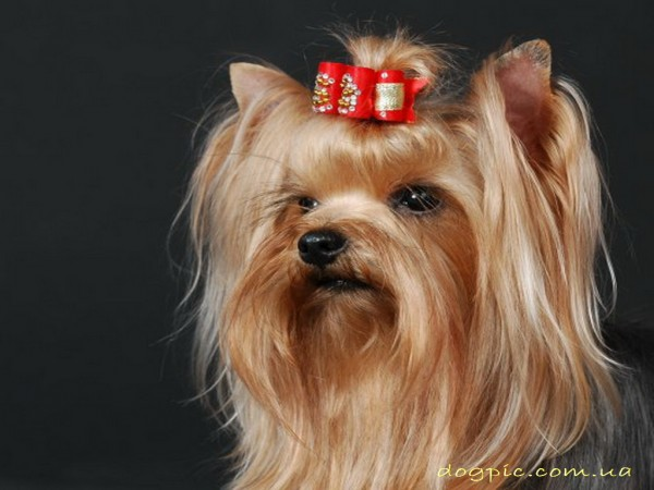 Собака с хвостиком на голове