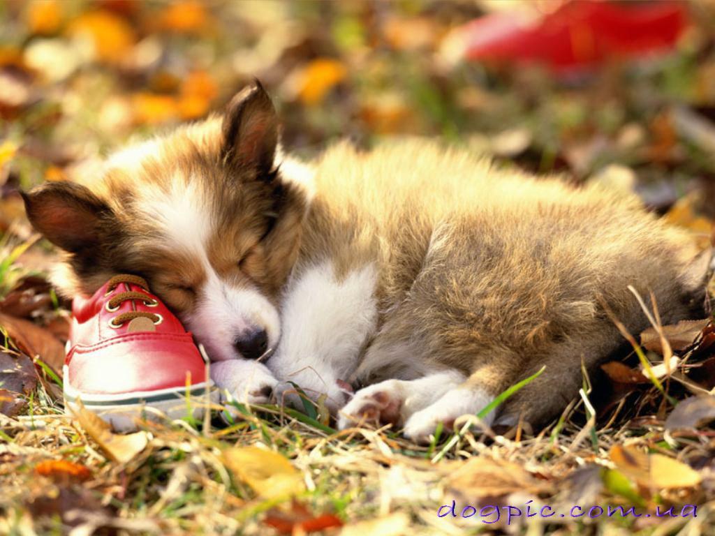 http://dogpic.com.ua/wp-content/uploads/2010/07/httpdogpic.com_.uasonya-na-obuvi-.jpg