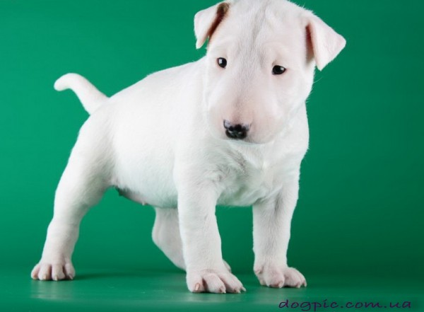 Белый щенок бультерьер