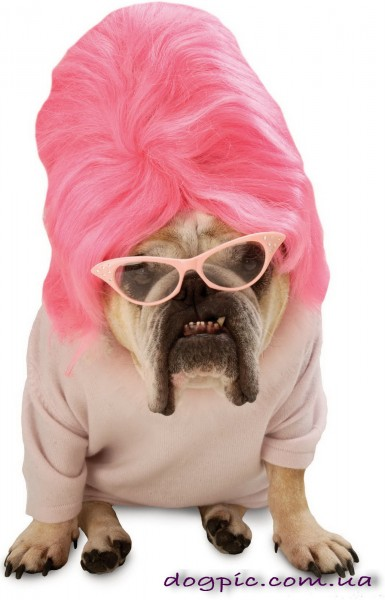 Бульдог в розовом парике
