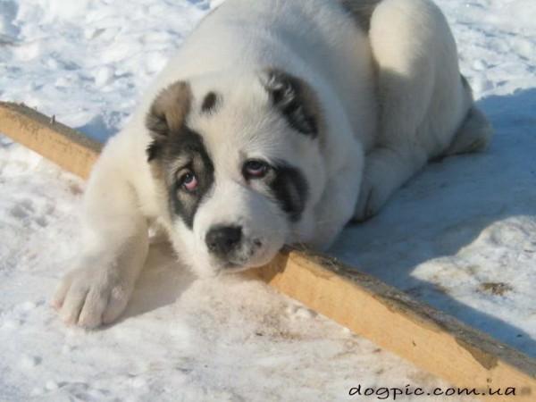 Фото алабая в снегу