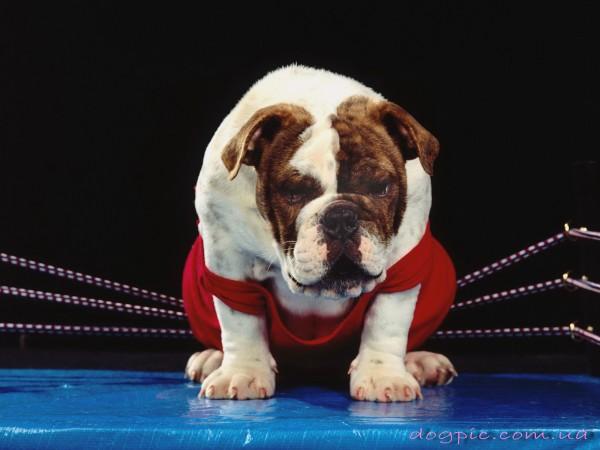 Пёс боксёр на ринге