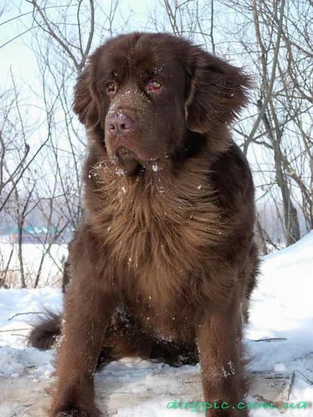 Пёс водолаз коричневого окраса