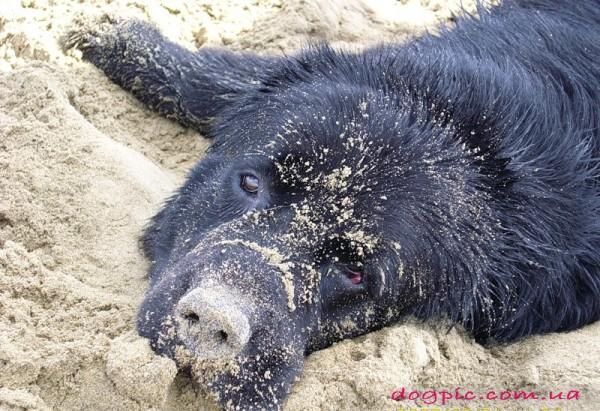 Пёс водолаз в песке