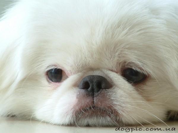 Фото пекинеса с белой шерстью