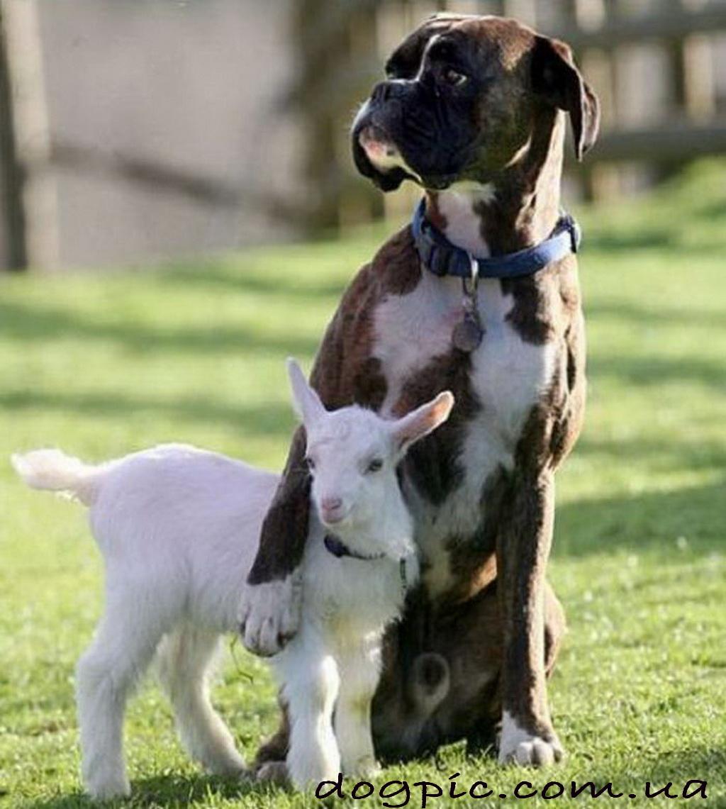 боксёр собака фото и описание