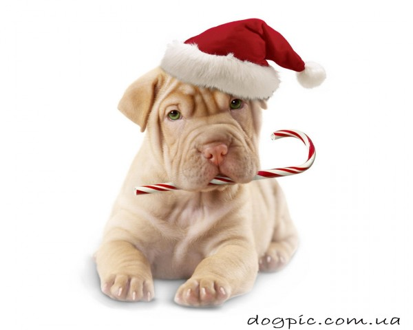 Фото щенка шарпея в шляпе