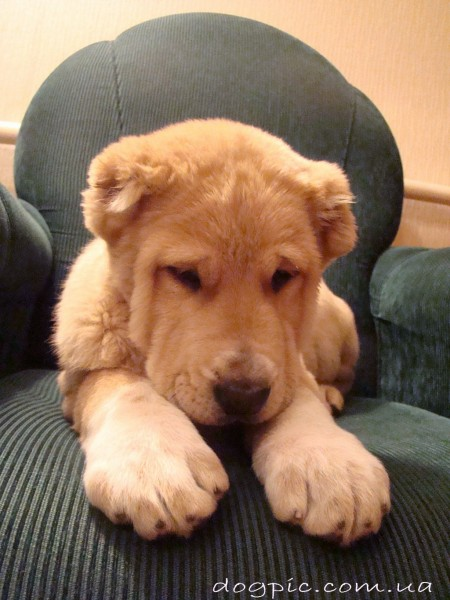 Фото смешного щенка алабая