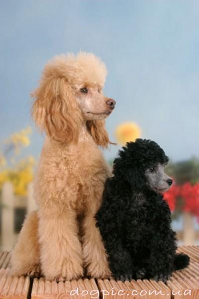 Фото собаки пуделя светлого окраса