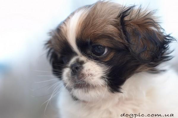 Грозная собака породы пекинес смешное фото