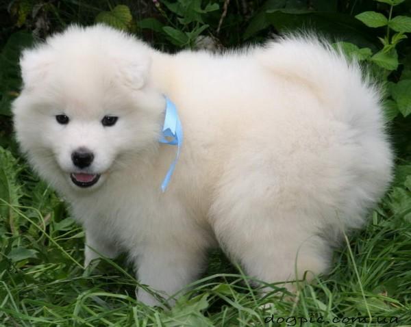 Красивый белый щенок лайки