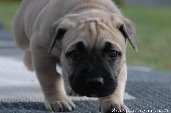 Красивый щенок породы Ка Де Бо