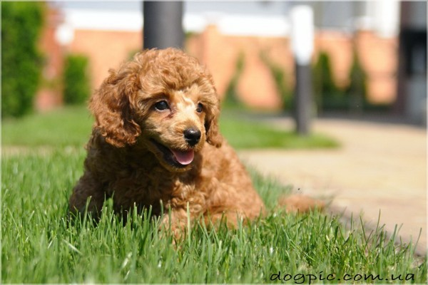 Милый щенок породы пудель