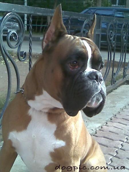 Обаятельный пёс породы боксёр