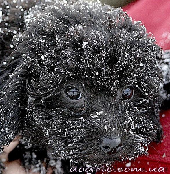 Очень красивый щенок Пули