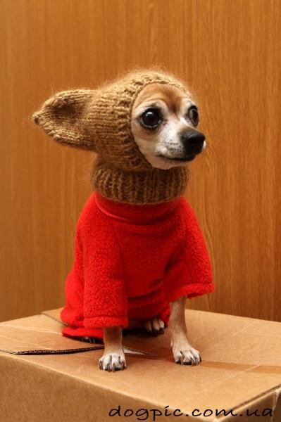 Прикольный щенок чихуахуа в шапке