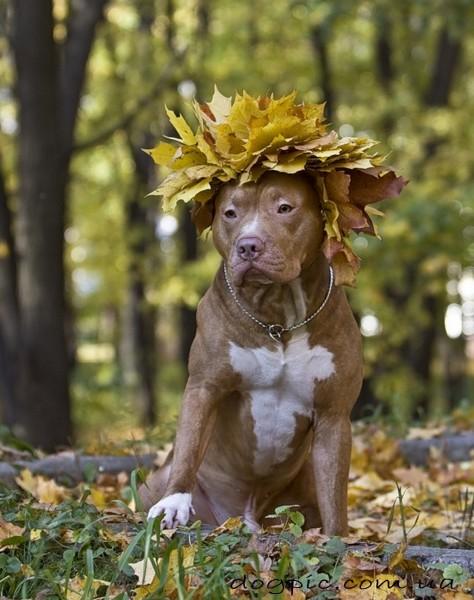 Смешная собака породы питбуль
