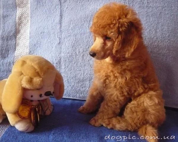 Смешное фото щенка пуделя с мягкой игрушкой
