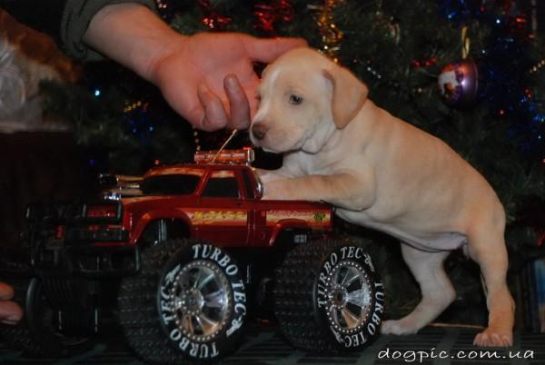 Смешной щенок питбуль на машинке