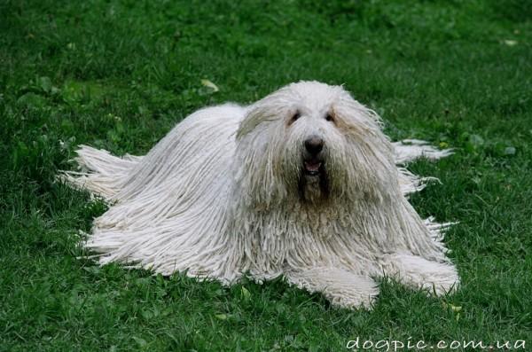Собака Пули во всей своей красоте