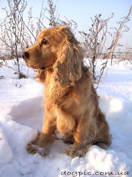 Спаниель - умная и красивая собака
