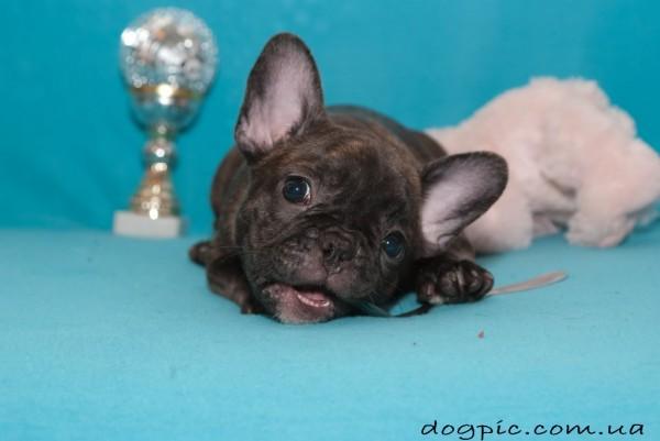 Игривый щенок французского бульдога