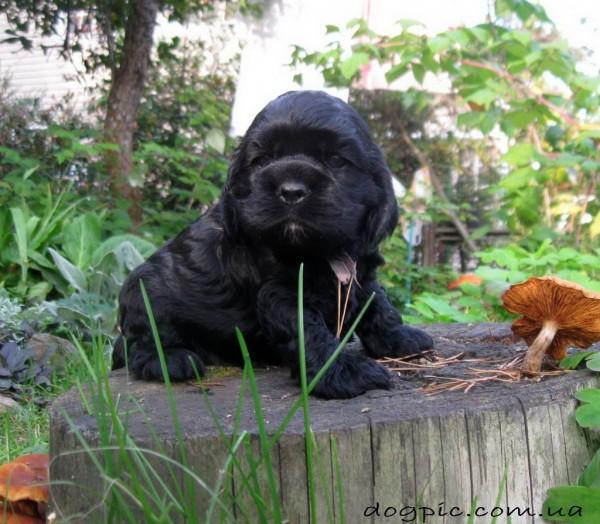 Чёрный щенок кокер-спаниеля на пне
