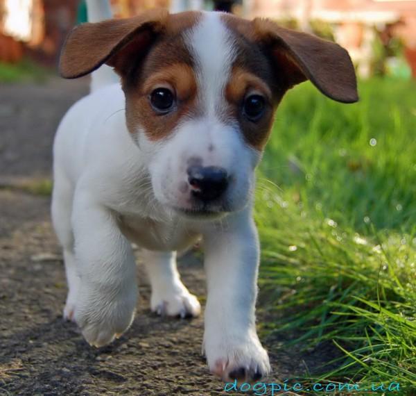 Джек-Рассел терьер - это охотничья собака