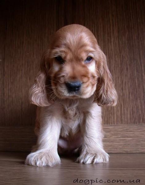 Фото грозный щенка породы кокер-спаниель
