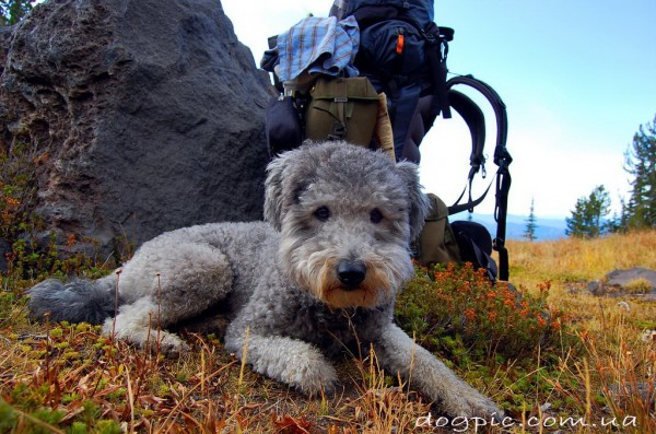 Фото красивой собаки породы пуми