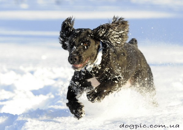 Фото пса кокер-спаниеля в бегу