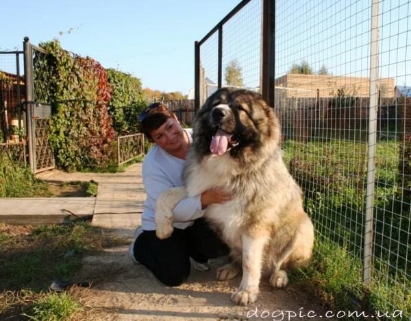 Фото пса породы кавказская овчарка с человеком
