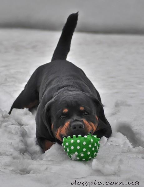 Фото пса ротвейлера с мячиком