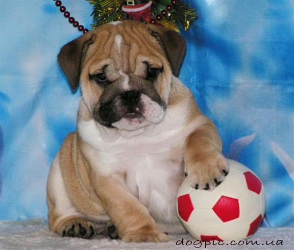 Фото щенка английского бульдога с мячом
