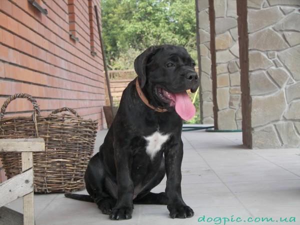 Фото щенка кане корсо чёрного окраса