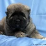 Фото щенка кавказской овчарки 1 месяц