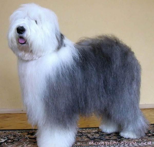Фото взрослого пса бобтейла в полный рост