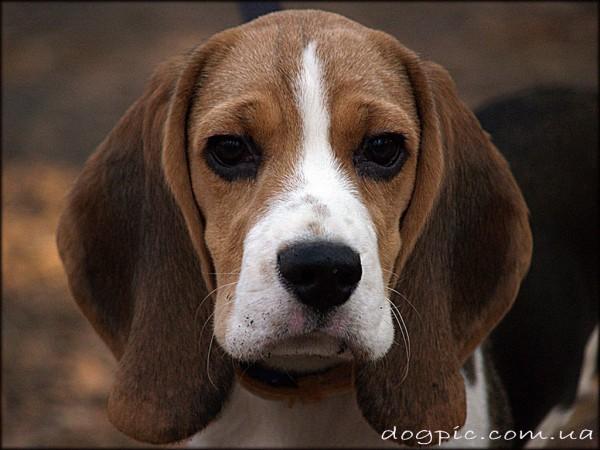 Коричневая мордашка пса породы бигль