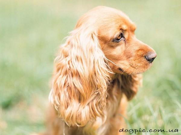 Красивое фото собаки кокер-спаниеля