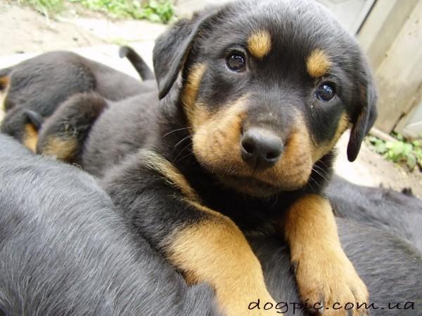 Красивый щенок породы ротвейлеров