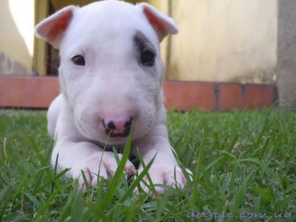 Маленький щенок бультерьера лежит в траве